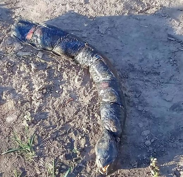 Аргентинские фермеры нашли жуткое существо на рисовом поле
