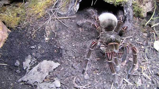 Терафоза Блонда — самый большой паук в мире
