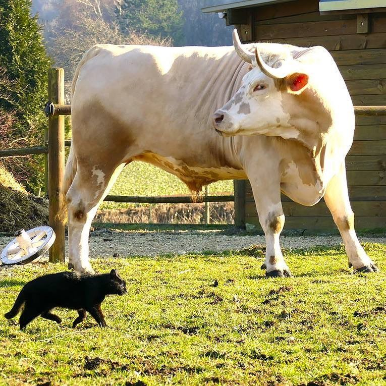 Бык весом 1,3 тонны считает себя лошадью и берет барьеры