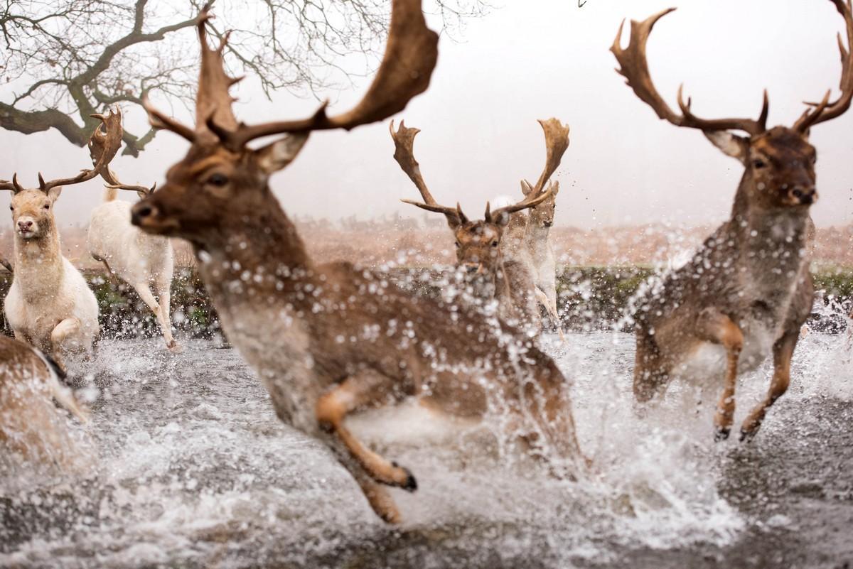 Кадры несущихся через реку оленей