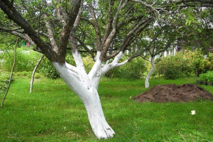 Немного о побелке деревьев