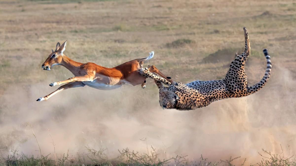 Кадры охоты гепарда на импалу