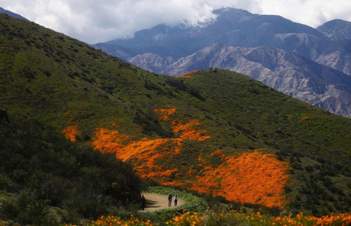 Город вынужден закрыть просмотр цветения маков из-за толп туристов