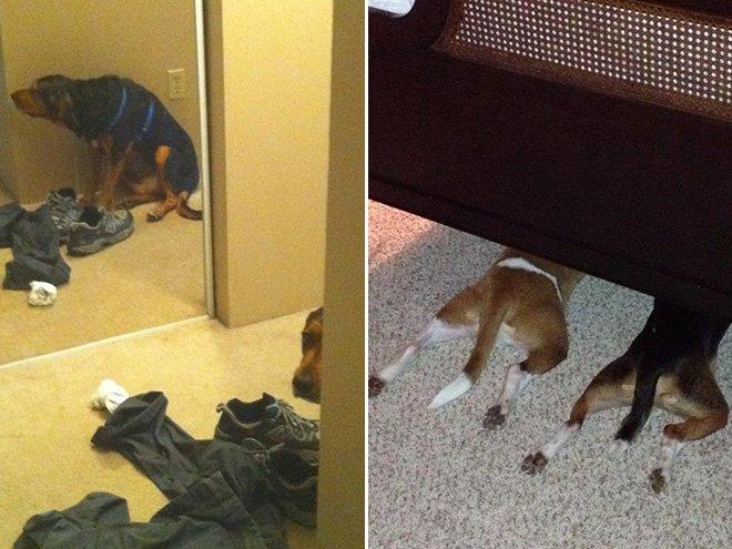 Собаки, которые любят играть в прятки, но не умеют