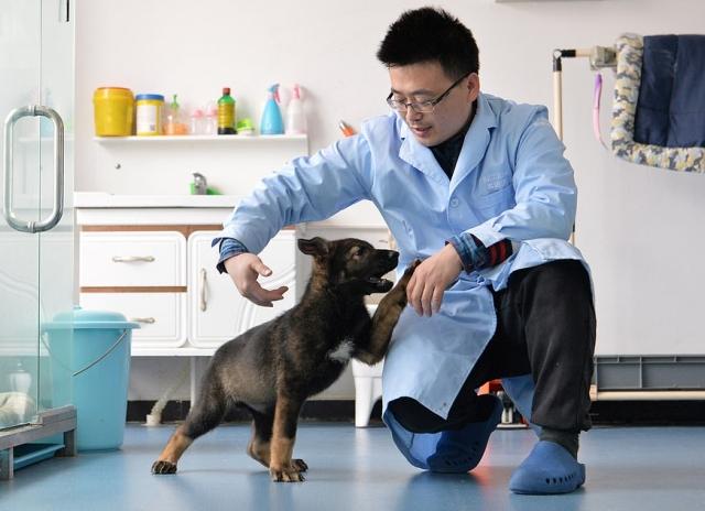 В Китае первый клон полицейской собаки приступил к тренировкам