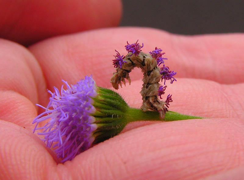 Гусеница-цветок и её защитный механизм