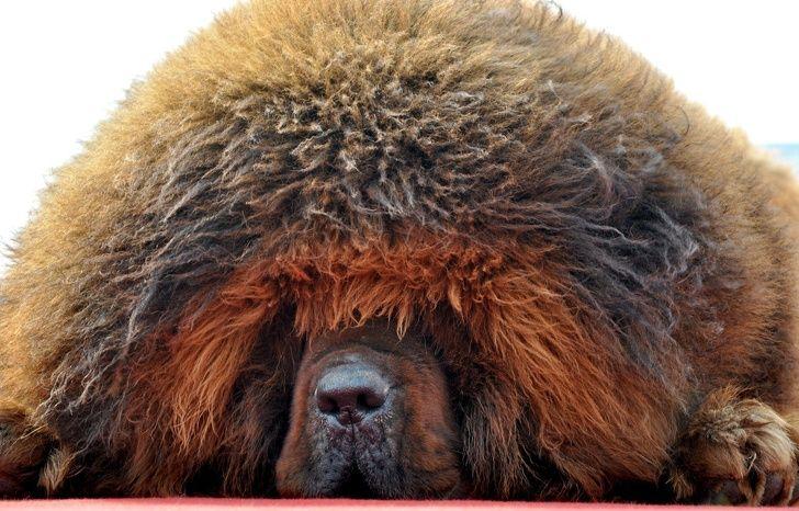 Заводя тибетского мастифа, получаешь еще льва и медведя
