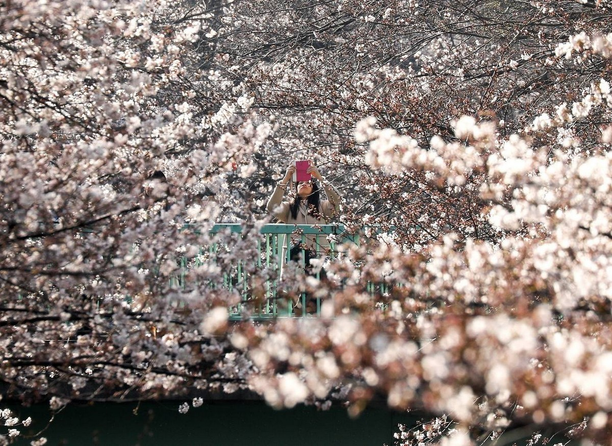 Sakura Blossom Tokióban