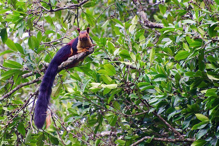 Tarka óriás mókusok Indiából