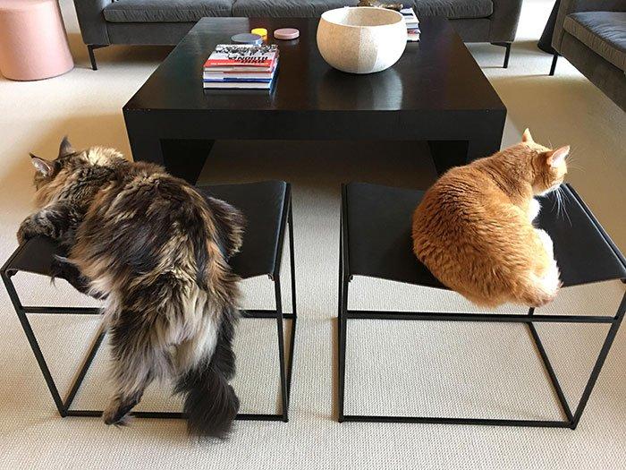 Забавные снимки кошек породы мейн-кун