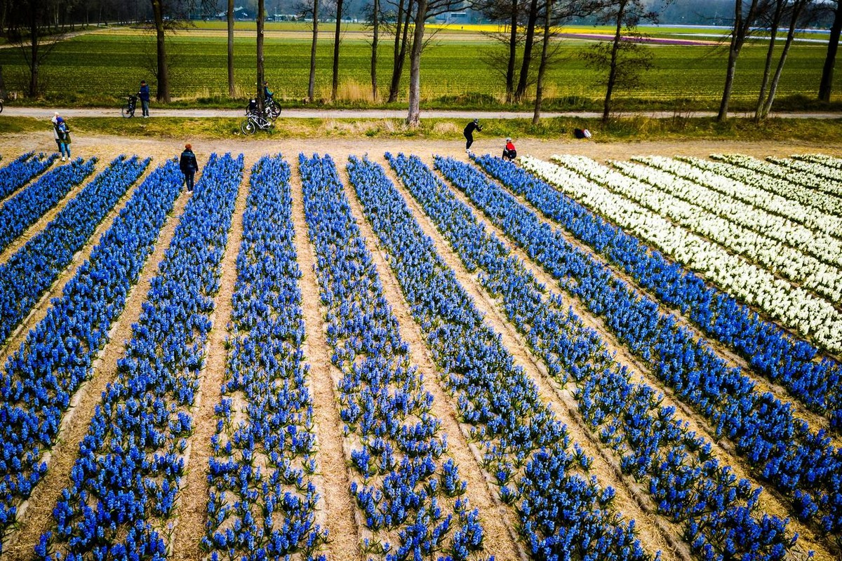 Virágzó tulipán mezők Hollandiában