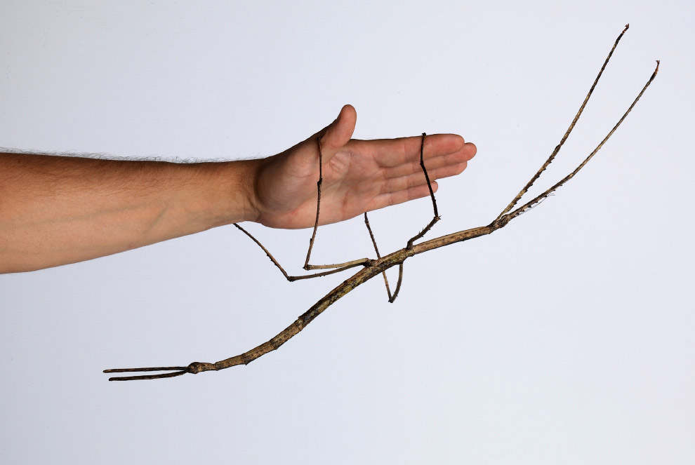 Самые крупные насекомые Земли