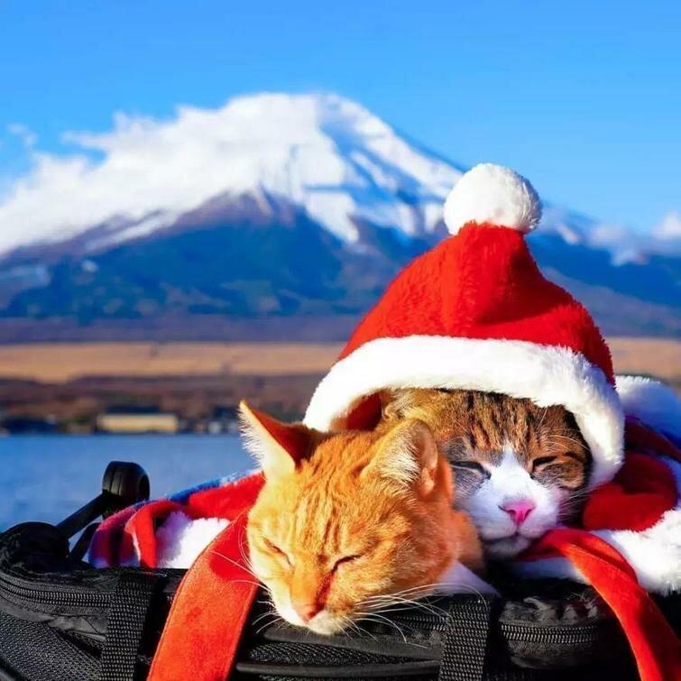Кошки-путешественницы из Японии, которые ездят вместе со своим хозяином