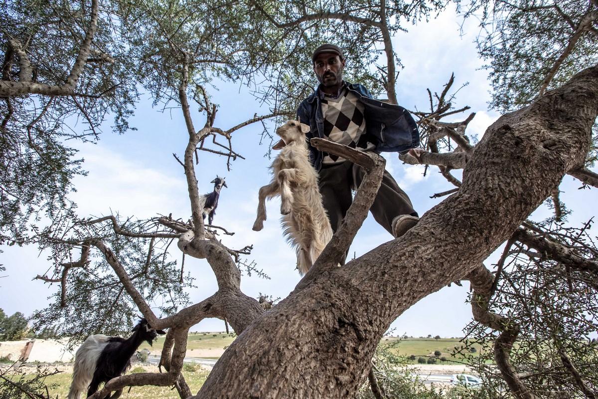 A fákon marokkói kecskék a turisták számára vonzónak bizonyultak