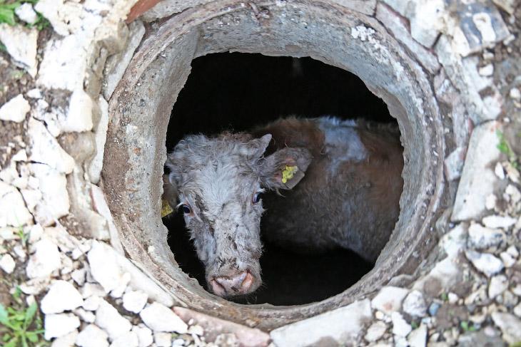 Коровы и их таланты на снимках