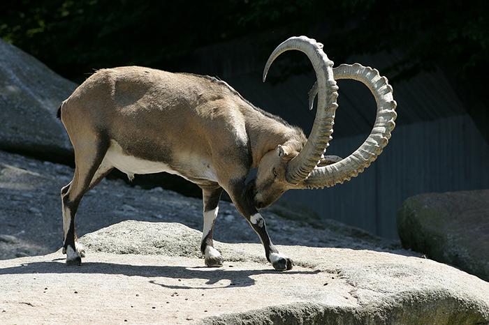 Почему горные козлы забираются на отвесные плотины