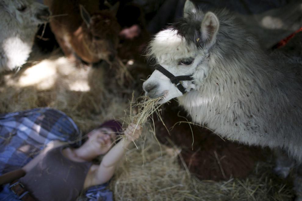 Милые альпаки на снимках