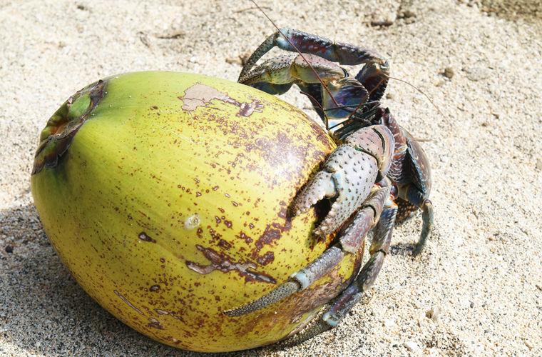 Пальмовый вор - самый крупный из членистоногих