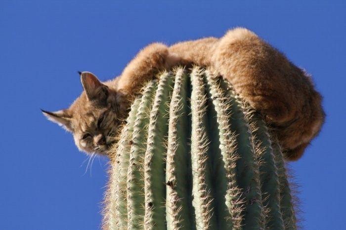 Рысь на кактусе