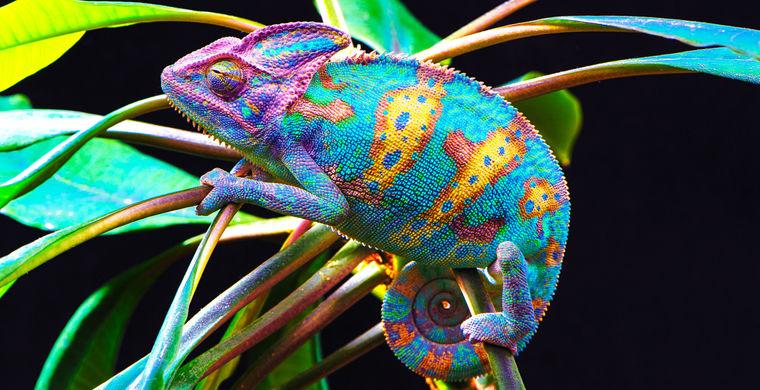 Зачем хамелеон меняет свой цвет