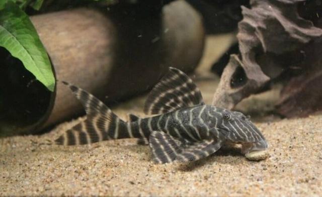 Когда аквариумной рыбке стукнуло 25 лет