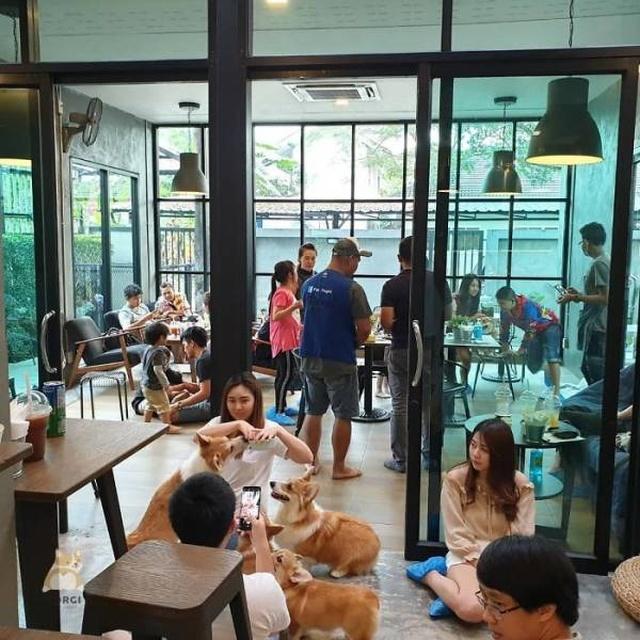 Антистресс-кафе с милыми корги в Таиланде