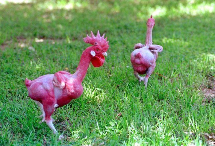 Израильский генетик вывел породу кур без перьев