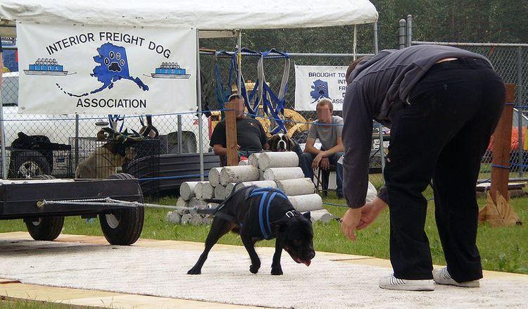 Перетягивание грузов собаками - жестокость или полезная практика?