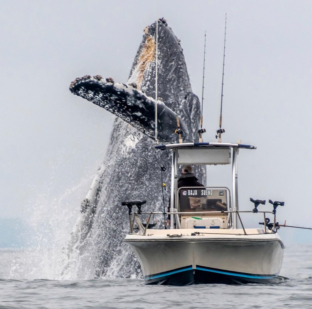 Горбатый кит чуть не перевернул рыбацкую лодку
