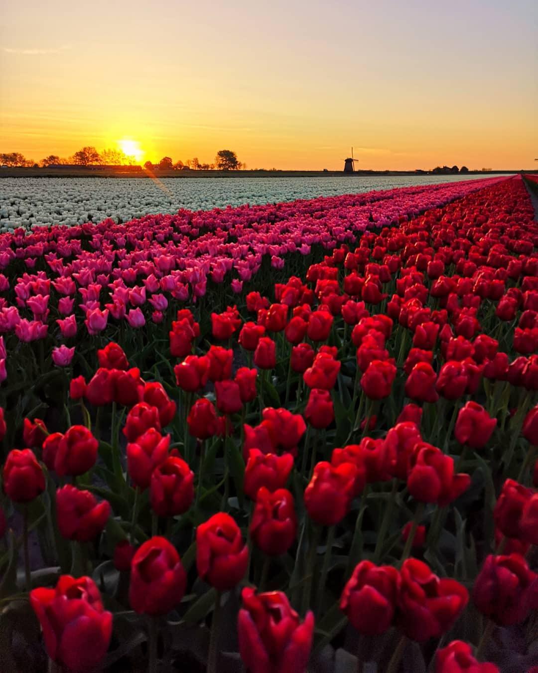 Красота тюльпанов на снимках Дирка Яна Пирсма