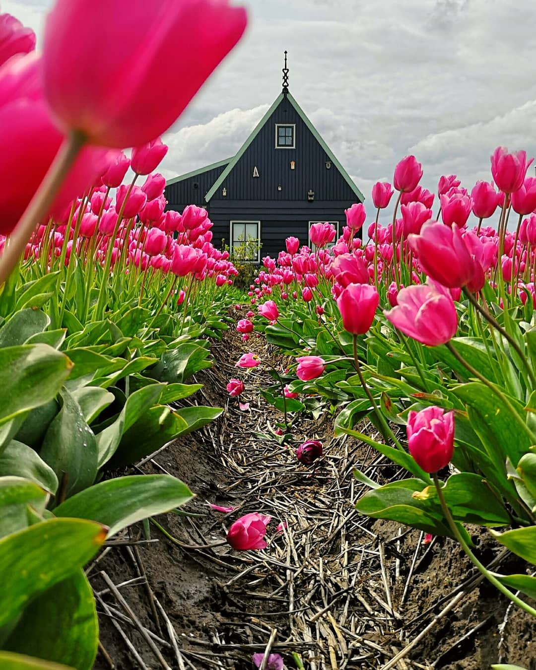 A tulipánok szépsége Dirk Jan Pirsma képeiben