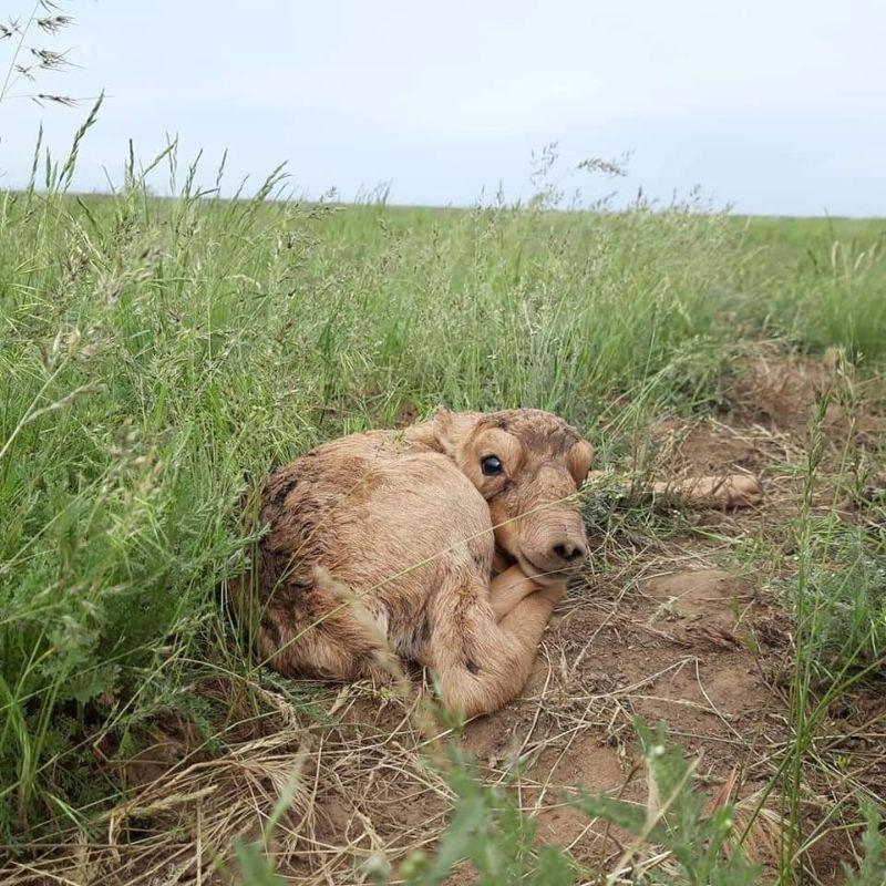 Детеныши сайгаков в степях Казахстана