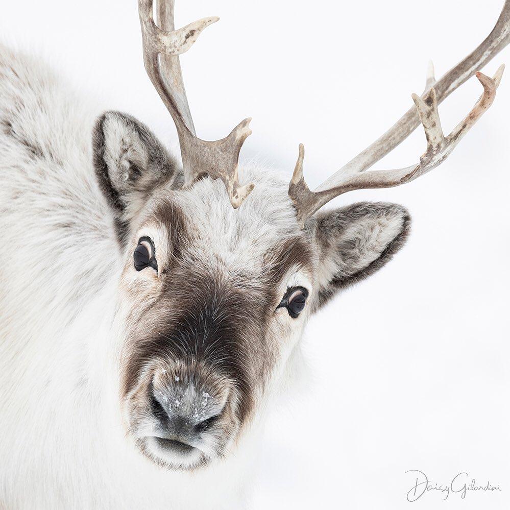 Портреты диких животных от Дейзи Гилардини