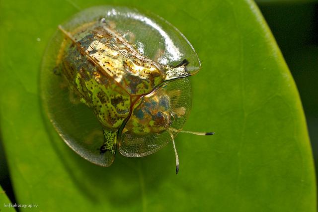 Необычный жук Золотая Черепаха