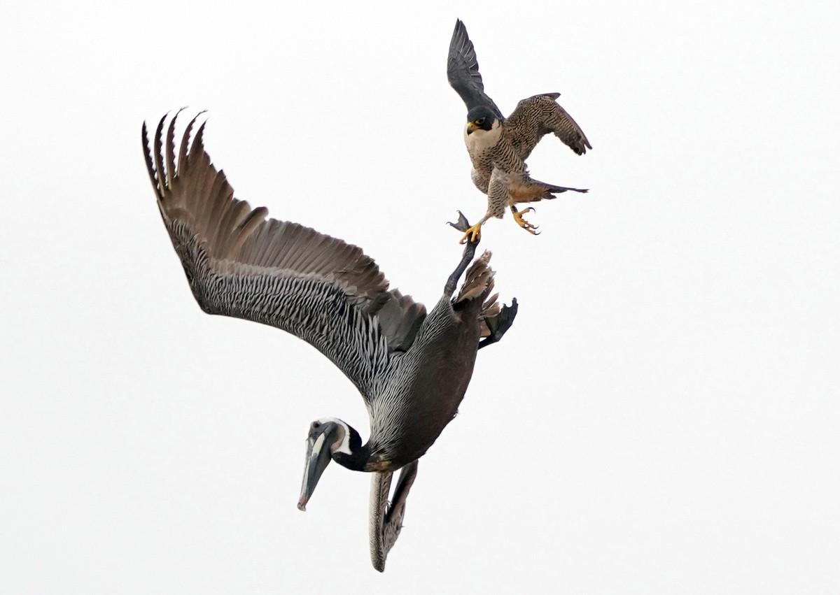 Самка сокола напала на пеликанов, защищая гнездо с птенцами