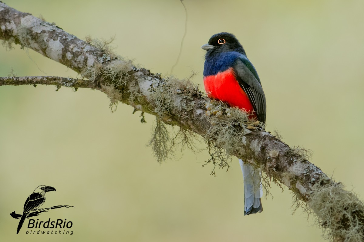 Замечательные снимки бразильских птиц от Хадсона Мартинса