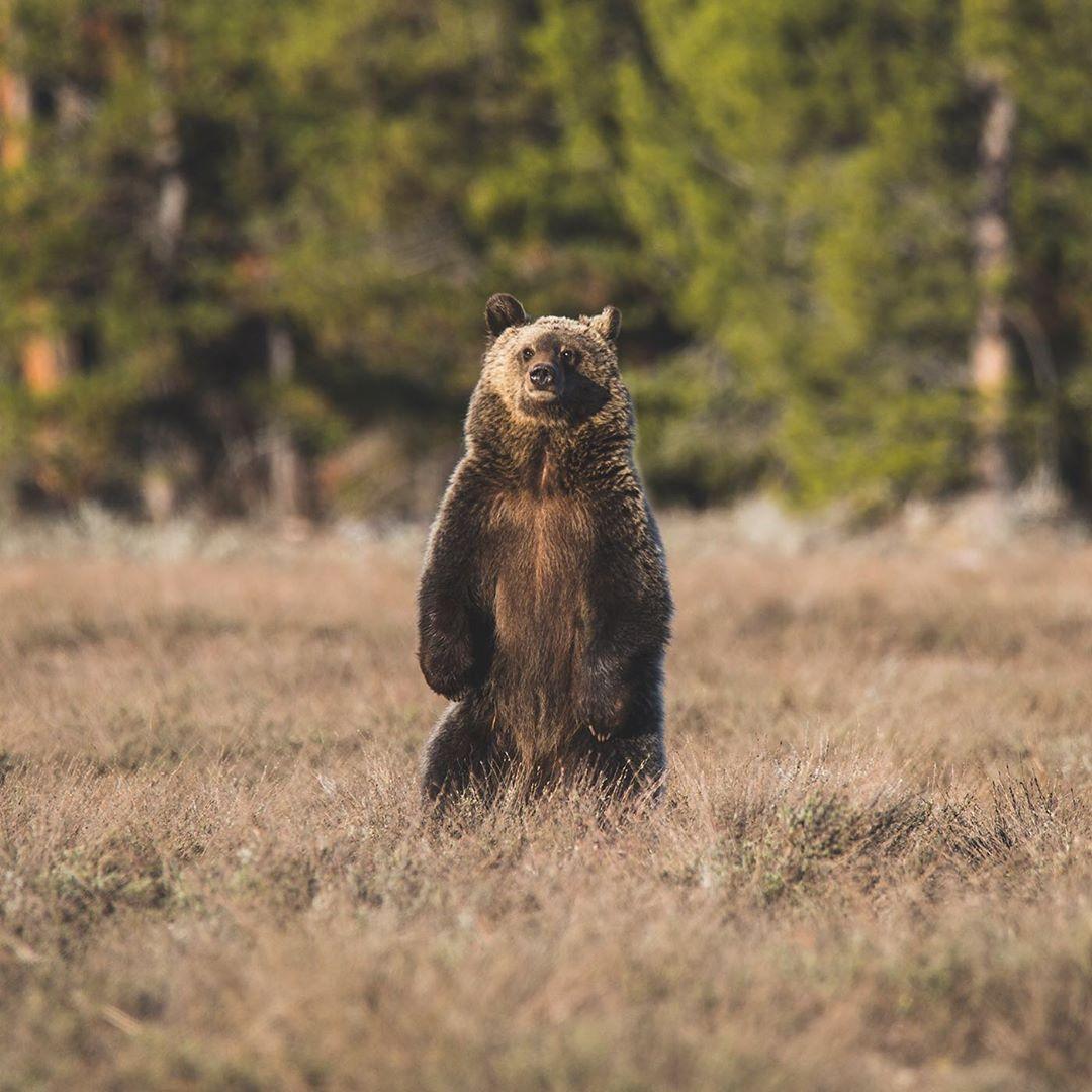 Дикие животные Национального парка Гранд-Титон от Ника Зульцера