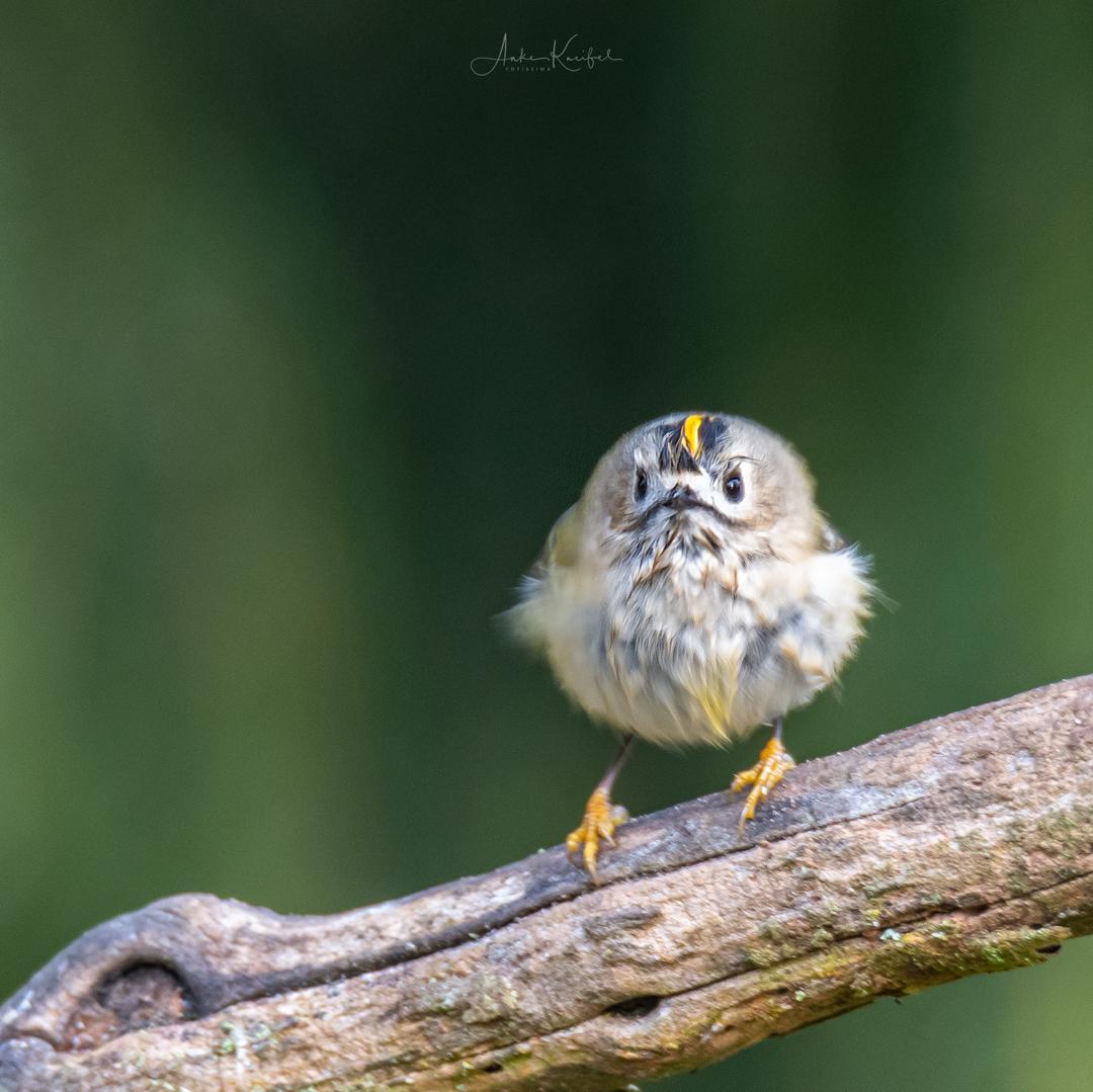 Фантастические снимки птиц Германии от Анке Кнайфель