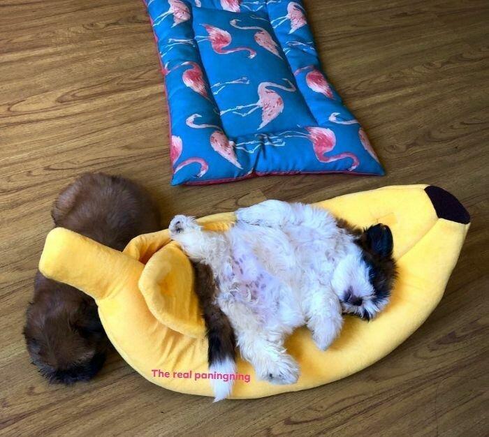 Маленькая ши-тцу спит пузиком кверху