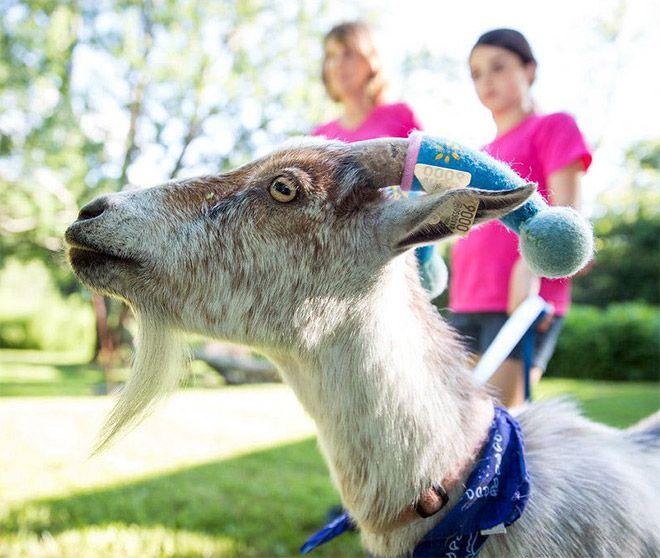 Хозяева решили обезопасить себя от рогов агрессивных коз