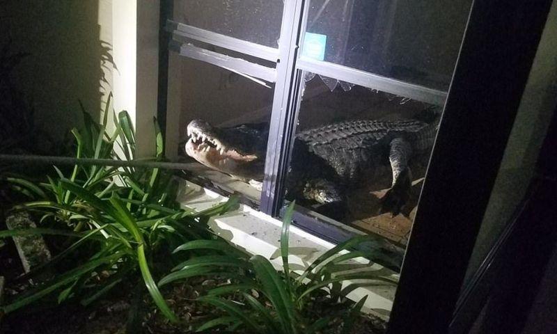 Аллигатор забрался в дом через окно и устроил погром