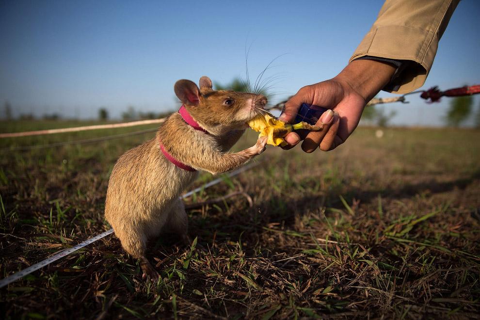 Гамбийские крысы-саперы разминируют Камбоджу