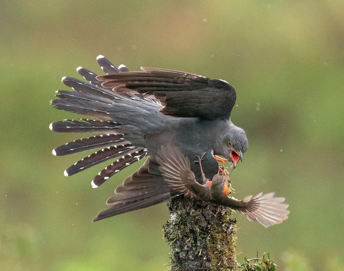 Малиновка набросилась на кукушку, чтобы отогнать от гнезда