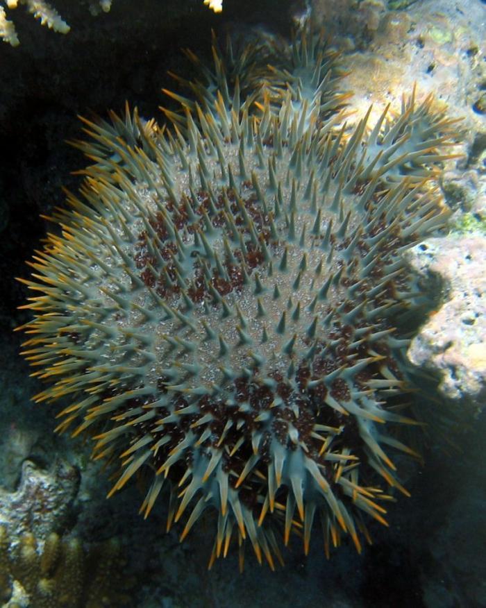 Единственная известная ядовитая морская звезда