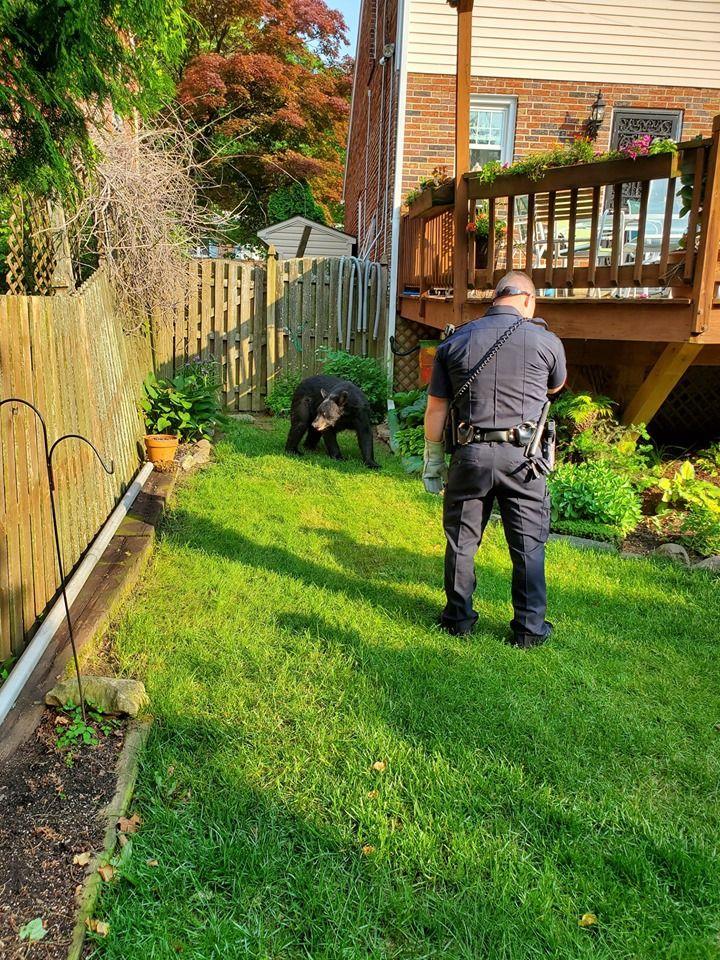 Медведь забрался во двор дома и от души искупался в бассейне