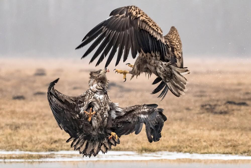Удивительные схватки орлов на снимках