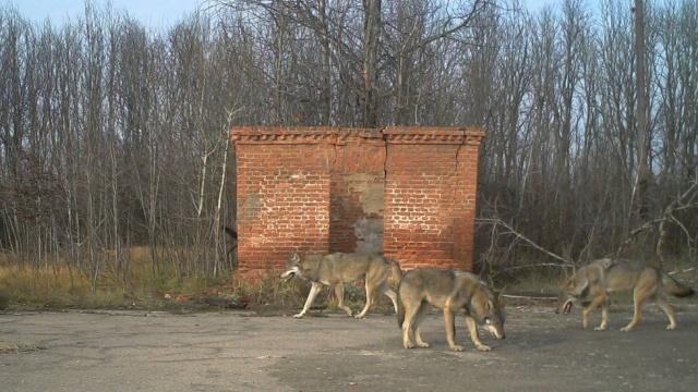 Возрождение природы в Чернобыле на снимках