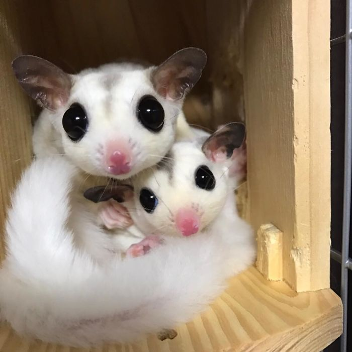 Сахарные поссумы - самые сладкие животные в мире