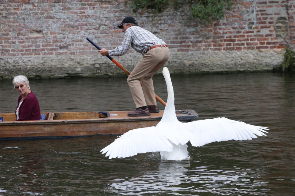 Лебеди не дают расслабиться отдыхающим на британской реке