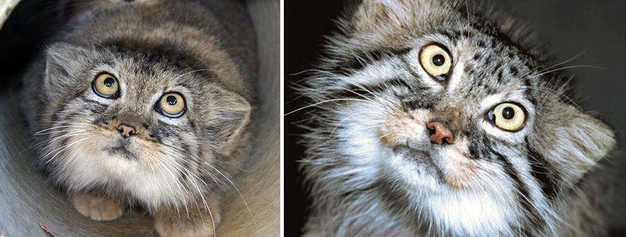 Манул - самая экспрессивная кошка в мире